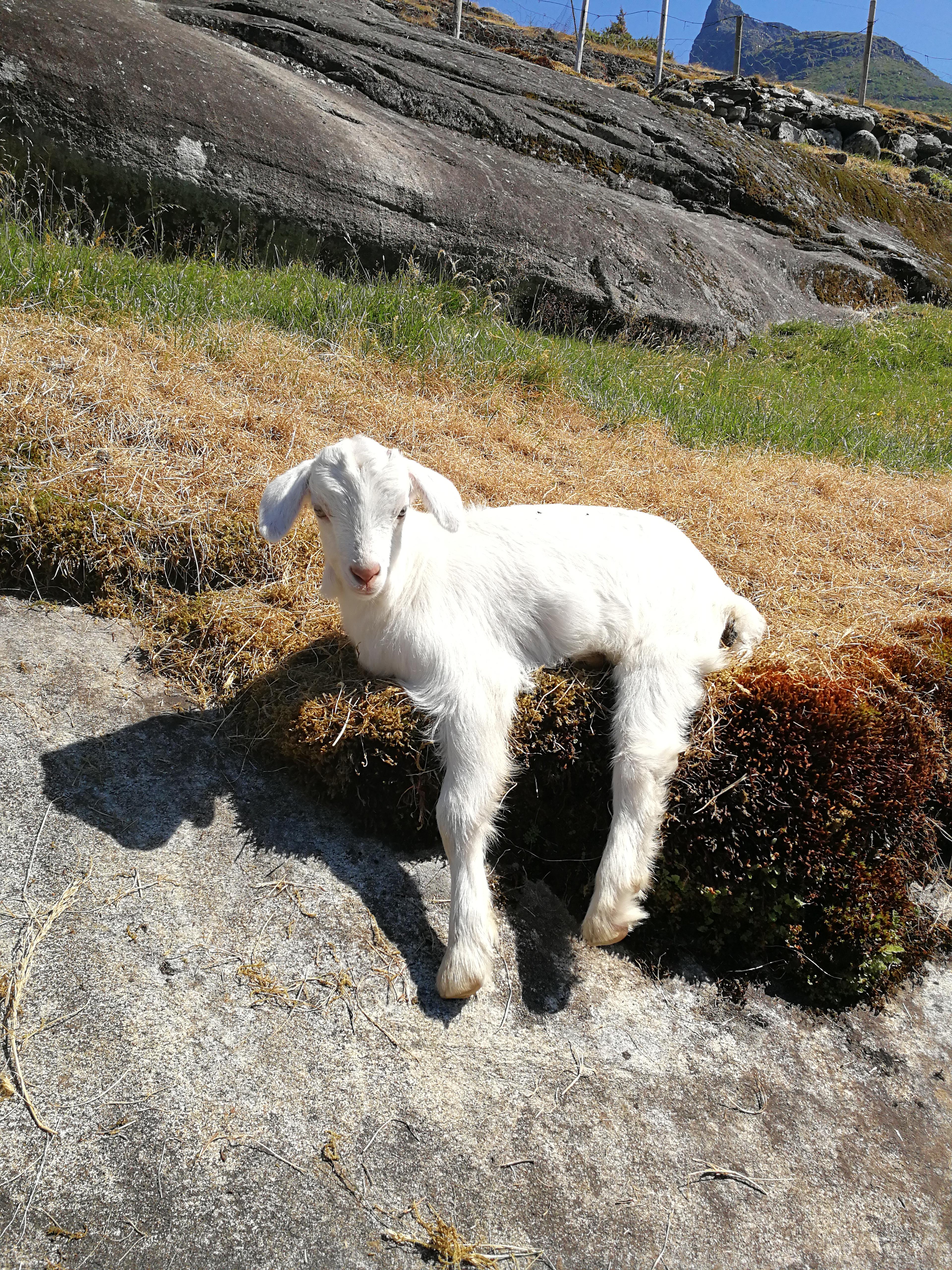 junge Ziege auf dem Weg zum Vesteråsfjellet