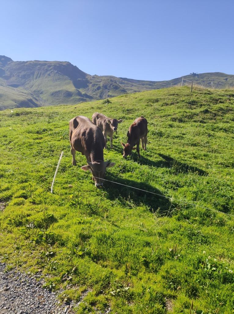 Hasliberg - Sonnenweg - grasende Kühe auf einer Alm.