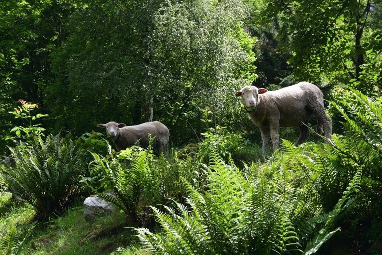 Schafe im Verzascatal